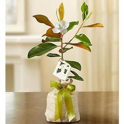 Magnolia Tree Sympathy Gift