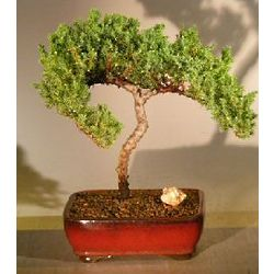 20 Year Old Trained Juniper Bonsai Tree