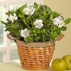 Cherished Gardenia Medium Plant for Sympathy