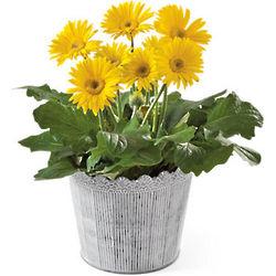 Birthday Gerbera Daisy Plant