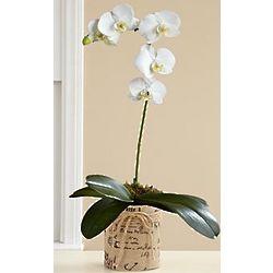 Single Stem White Orchid Plant