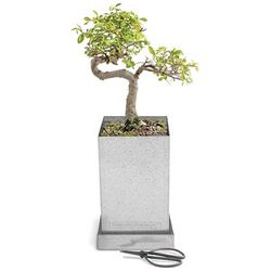 Japanese Elm Bonsai Kit