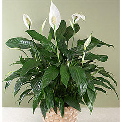 Potted Peace Lily