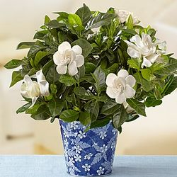 Graceful Gardenia Potted Plant