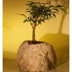 Oriental Ficus Bonsai Tree in Lava Rock