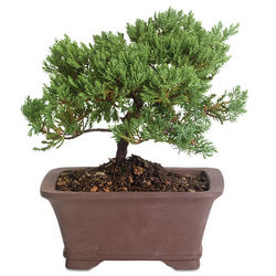 Venerable Bonsai