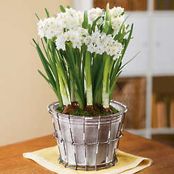 Paperwhites in Rustic Tin