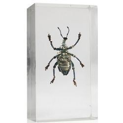 Real Curculionid Beetle in Resin