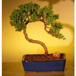 12 Year Old Juniper Bonsai Tree