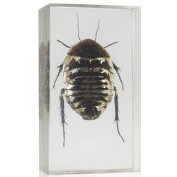 Real Polyphaga Cockroach in Resin