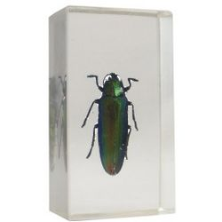 Kumbang Padang Jewel Beetle in Resin