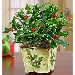 Traditional Holly Plant in Decorative Tin Planter