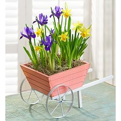 Lovely Wheelbarrow of Daffodil and Iris Bulbs