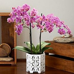 Blush Blooming Orchid