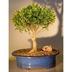 Ficus Retusa Bonsai Tree