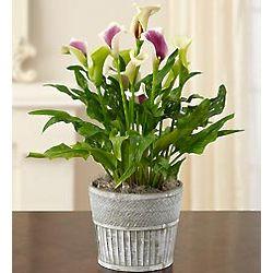 Plum Perfect Calla Lily Plant