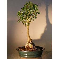 Ficus Oriental Bonsai Tree with Roots Over Rock