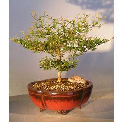 Black Olive Bonsai Tree