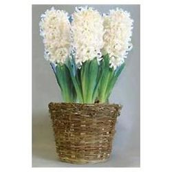 White Hyacinth Flower Bulb Gift Basket