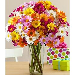 100 Blooms of Rainbow Daisy Poms