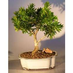 Dwarf Flowering Bottlebrush Bonsai Tree