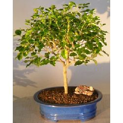 17 Year Old Flowering Ligustrum Bonsai Tree