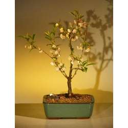 Japanese Flowering Cherry Bonsai Tree