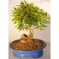 19 Year Old Willow Leaf Ficus Bonsai Tree