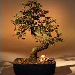 Chinese Elm Medium Bonsai Tree