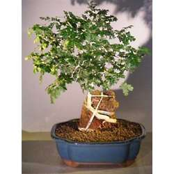 Texas Ebony Bonsai Tree with Roots Over Rock