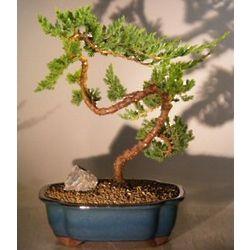 20 Year Old Bent Juniper Bonsai Tree
