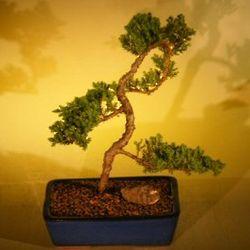 12 Year Old Dwarf Juniper Bonsai Tree