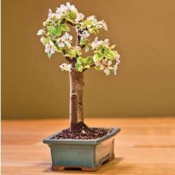 Dwarf Bartlett Pear Bonsai Tree