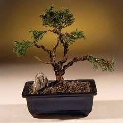 7 Year Old Shimpaku Juniper Bonsai