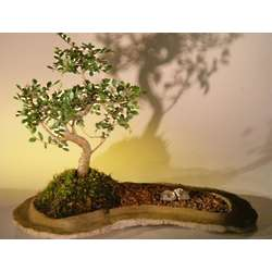 Chinese Elm Bonsai Tree on Rock Slab