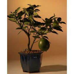 Flowering Lemon Bonsai Tree