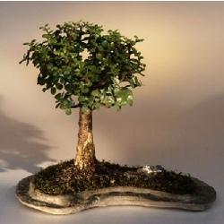 Baby Jade on Rock Slab Bonsai Tree