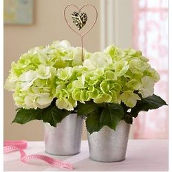 Double Hearts of Blooms White Hydrangea Plants