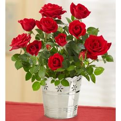 Sympathy Red Rose Bush in Silver Planter