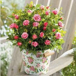6 inch Mini Rose Plant