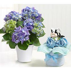 Baby Boy Hydrangea Gift Set