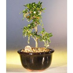 Fukien Tea Bonsai Tree with a Straight Trunk