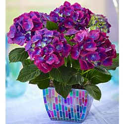 Don't Be a Stranger Hydrangea Purple Hydrangea in Mosaic Planter