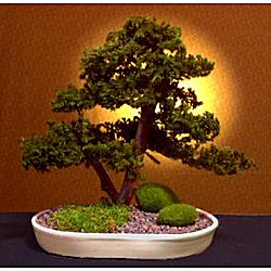 Preserved Upright Double Trunk Style Juniper Bonsai Tree