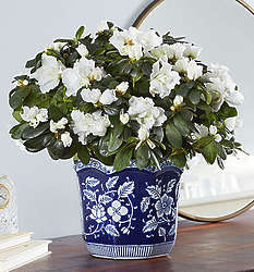 Large White Azalea for Sympathy in Lovely Planter