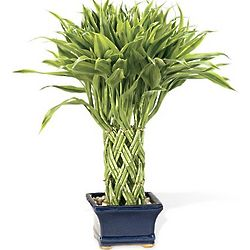 Braided Lucky Bamboo