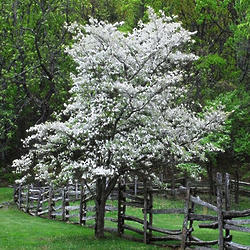 Chinese Dogwood Tree