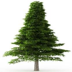 2' Deodara Cedar Tree