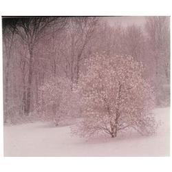 Snowy Magnolia Fine Art Print