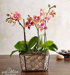 Sunset Garden Orchid Plant